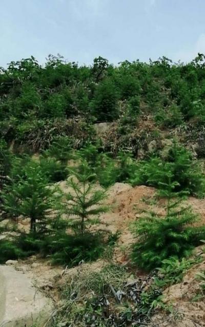 山坳林场精心做好夏季森林抚育