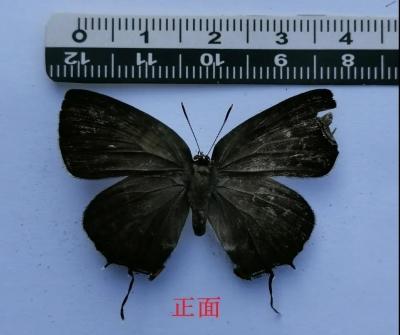 刷新江西新记录种 马头山保护区发现台湾洒灰蝶