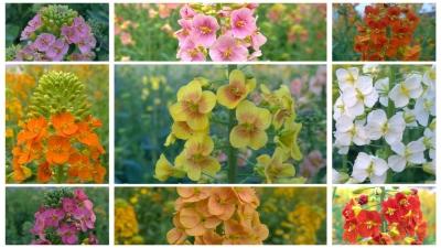 这里的油菜为何能开45种颜色的花?