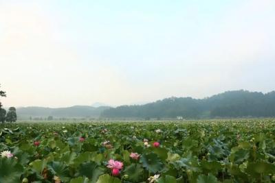 又是一年莲花季,广昌人教你几个拍摄莲花的技巧,美照拍出来 !