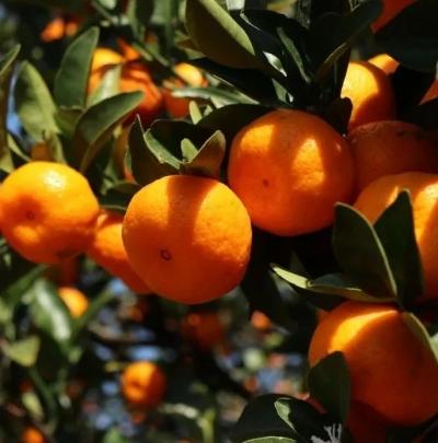 甜上心头!千善乡的蜜桔熟了!掌上君带你探秘漫山蜜桔和蜜桔工厂