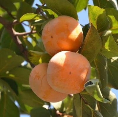 广昌本地柿子熟了!吃货们,吃柿子的季节到啦~