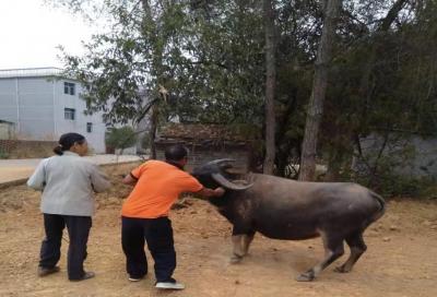 吉水金滩镇:有序开展秋季动物疫病集中防疫工作