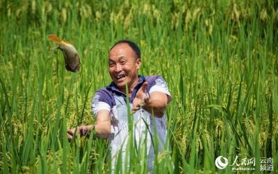 云南漾濞:稻花香 鱼儿肥