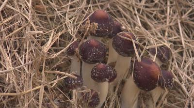 赤松茸菇种在我县试种成功