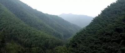 彭泽大浩山数万亩竹海碧涛起伏秀美壮观