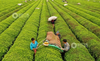 江西吉安:机器采茶省时省工