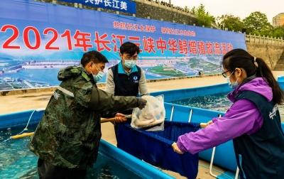 长江三峡放流10000尾子二代中华鲟
