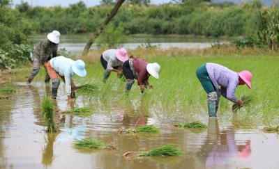 江西彭泽:晚稻插秧正当时 农技指导促增收