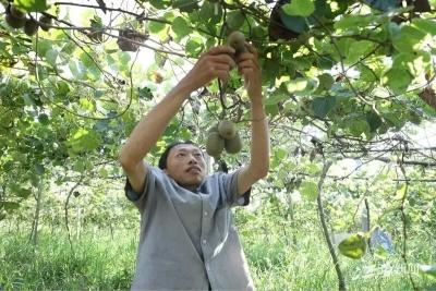 走向我们的小康生活 | 江西宜春赤岸镇:小小猕猴桃 照亮致富路